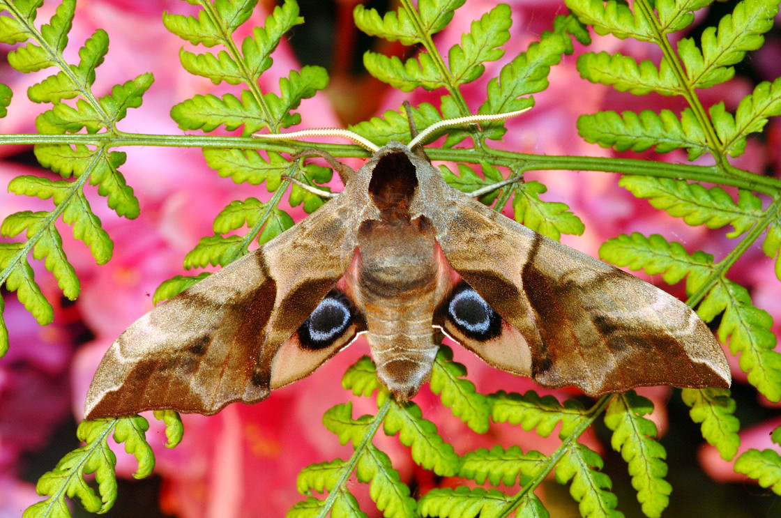"""Eyed Hawk Moth flashing eye-spots."" stock image"