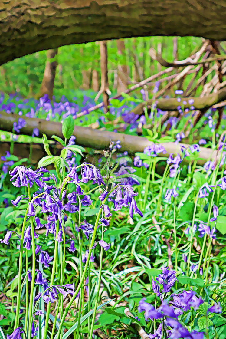 """Bluebell woods in Hampshire"" stock image"