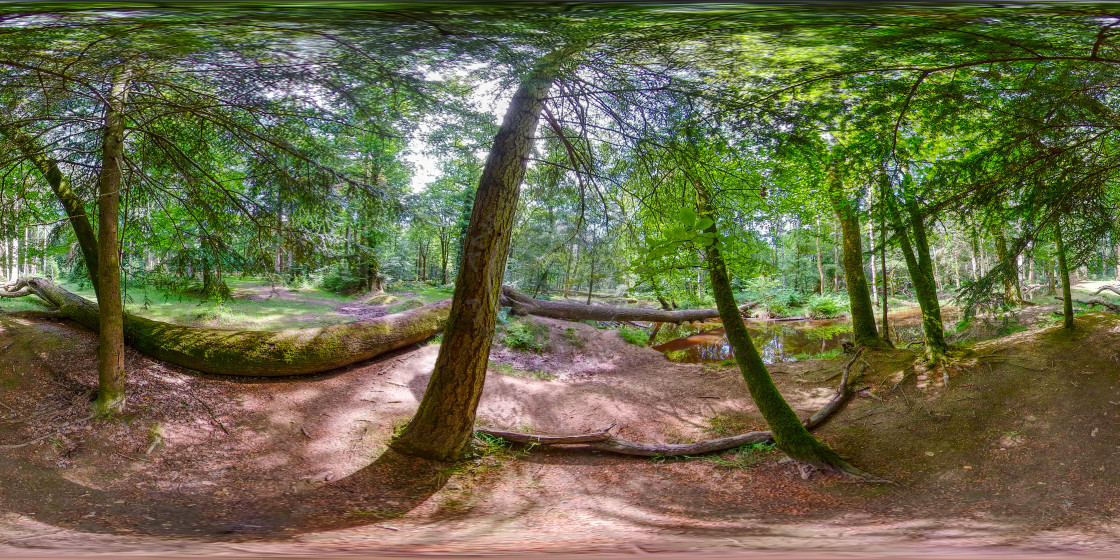 """""""Under Pine trees in the New Forest (360VR)"""" stock image"""