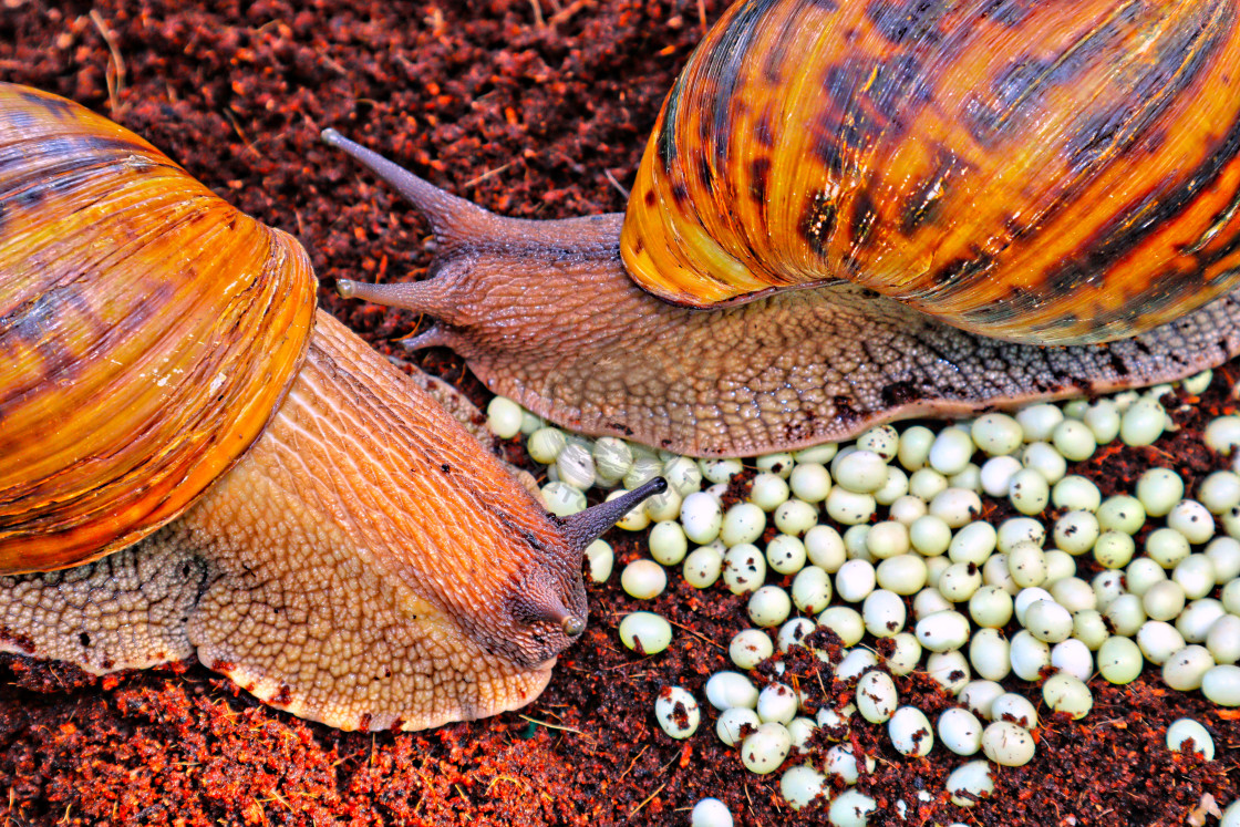 """Giant Tiger Snails"" stock image"