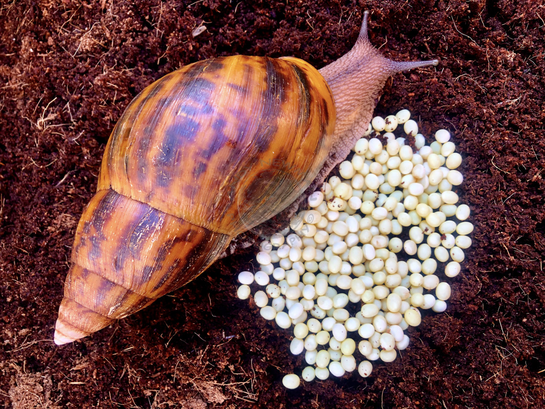 """""""Giant Tiger Snail"""" stock image"""