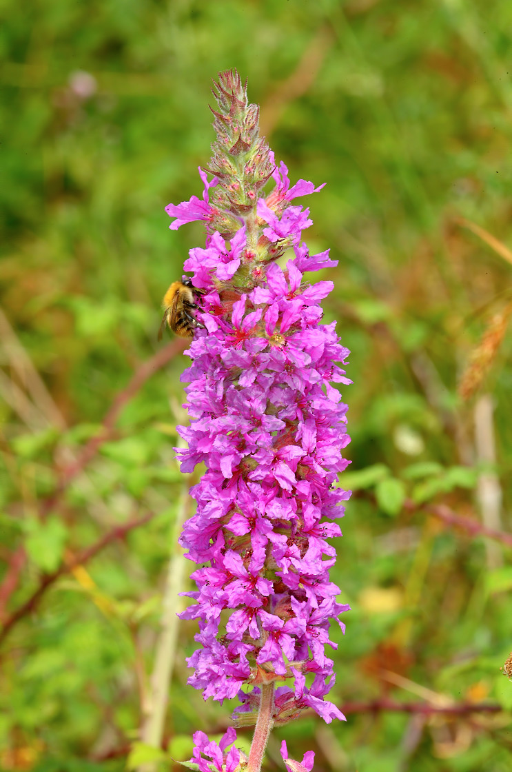 """Purple loosestrife"" stock image"