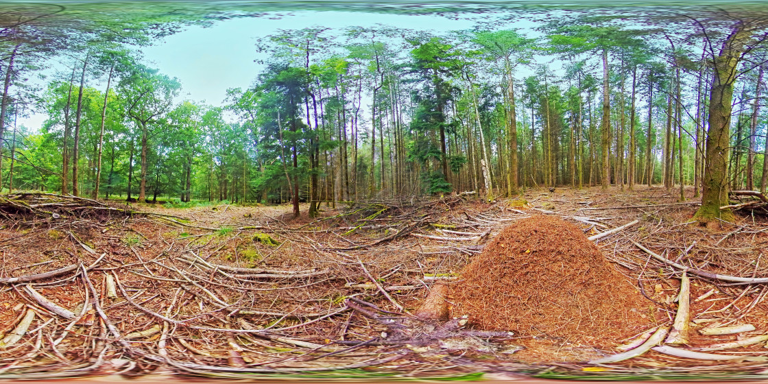 """""""Wood ants nest in a pine forest."""" stock image"""