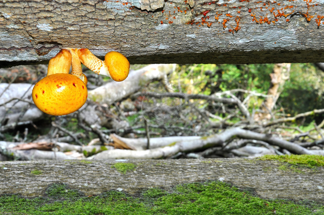 """Golden Scalycap mushrooms on fallen tree"" stock image"