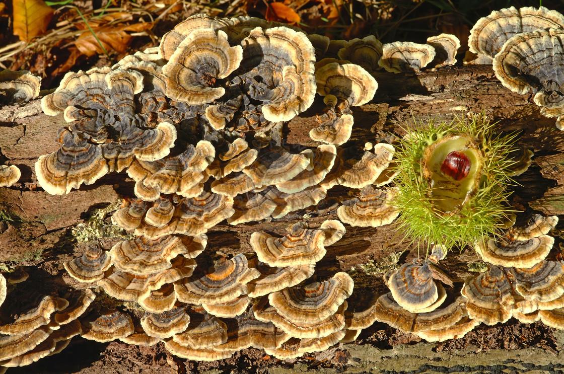 """Many-Zoned Polypore fungus"" stock image"