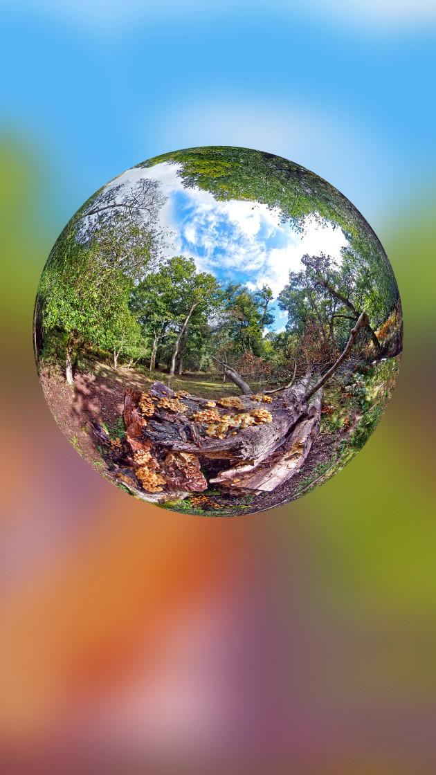 """Honey mushrooms growing on a fallen tree"" stock image"