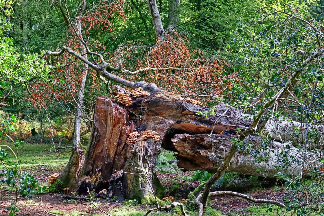 """Fallen tree in Autumn"" stock image"