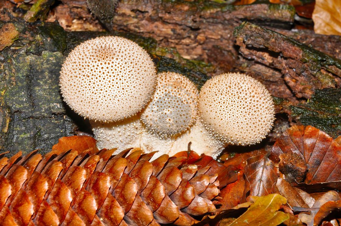 """Common Puffball Mushroom. (Lycoperdon Perlatum)"" stock image"