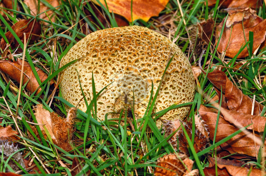 """""""Common Earth-ball Fungus (Scleroderma Citrinum)"""" stock image"""