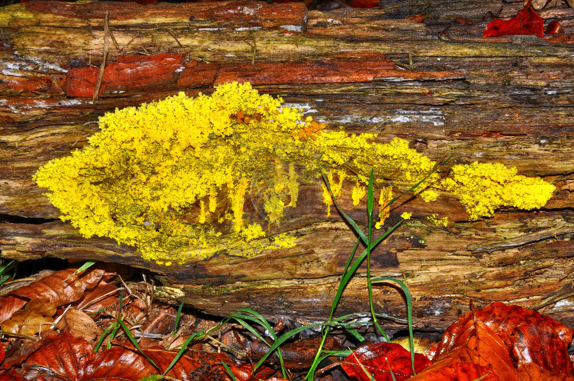 """Slime Mould or Dog Vomit Fungus (Fuligo Septica)"" stock image"