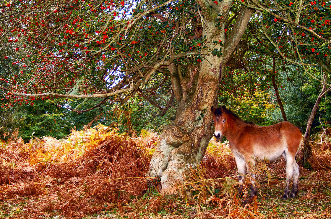 """""""New Forest pony in Autumn"""" stock image"""