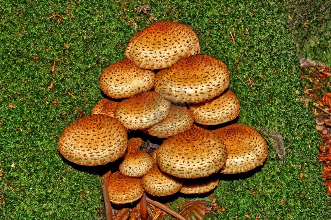 """Shaggy Scalycap Mushrooms."" stock image"