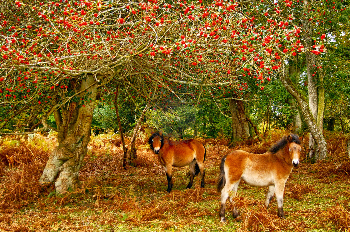 """New forest ponies in Autumn"" stock image"