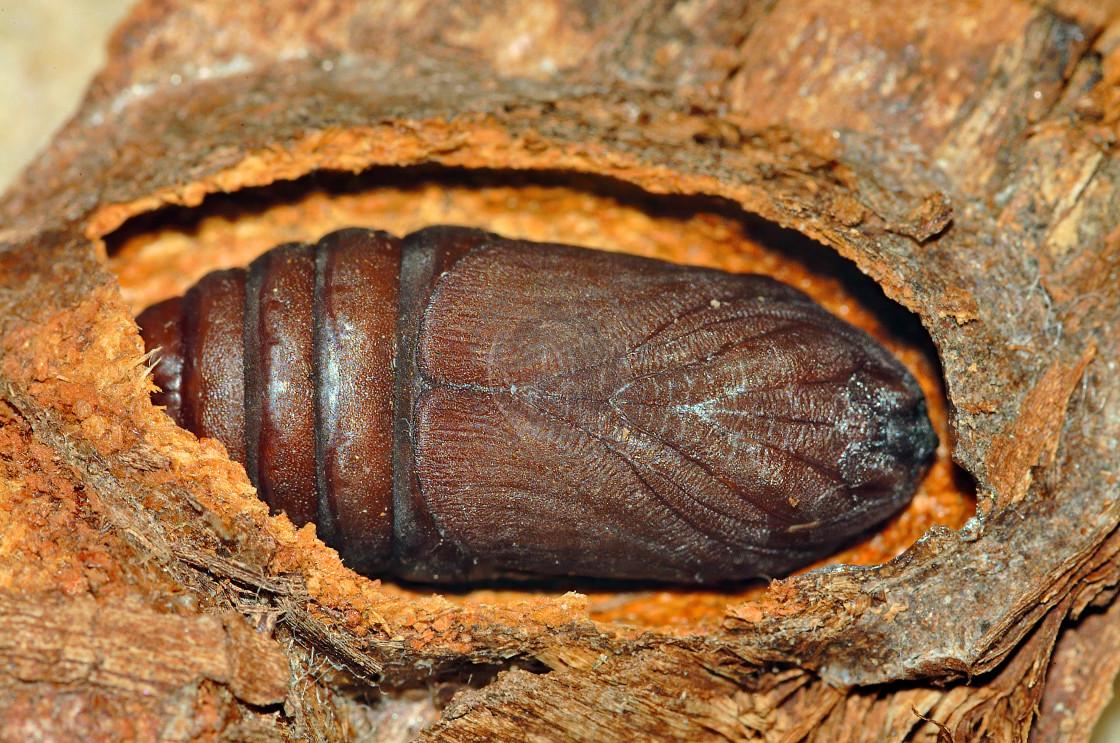 """Ermine Puss Moth Pupae (Dicranura Erminea)"" stock image"