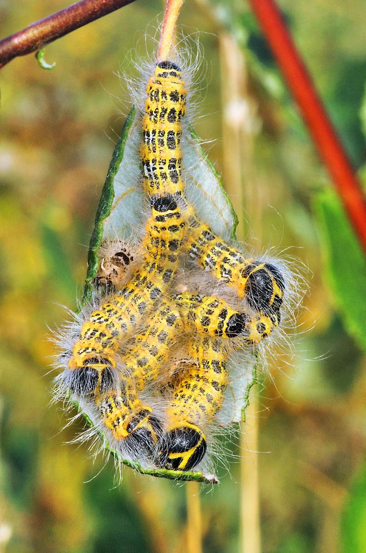 """""""Buff-Tip Moth larvae resting on a leaf"""" stock image"""