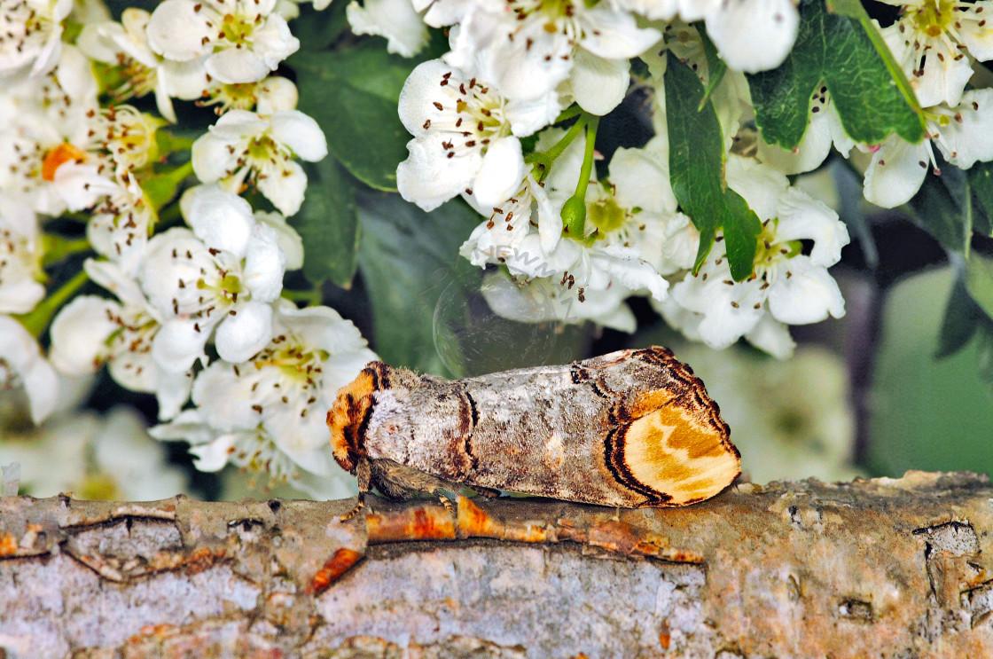 """Buff-tip moth (Phalera bucephala)"" stock image"