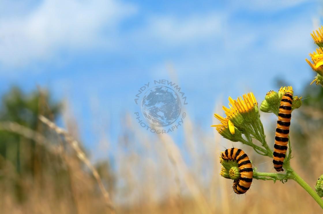 """Cinnabar moth larvae feeding on Ragwort flower"" stock image"