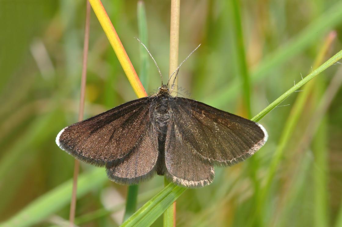 """Chimney Sweeper moth"" stock image"
