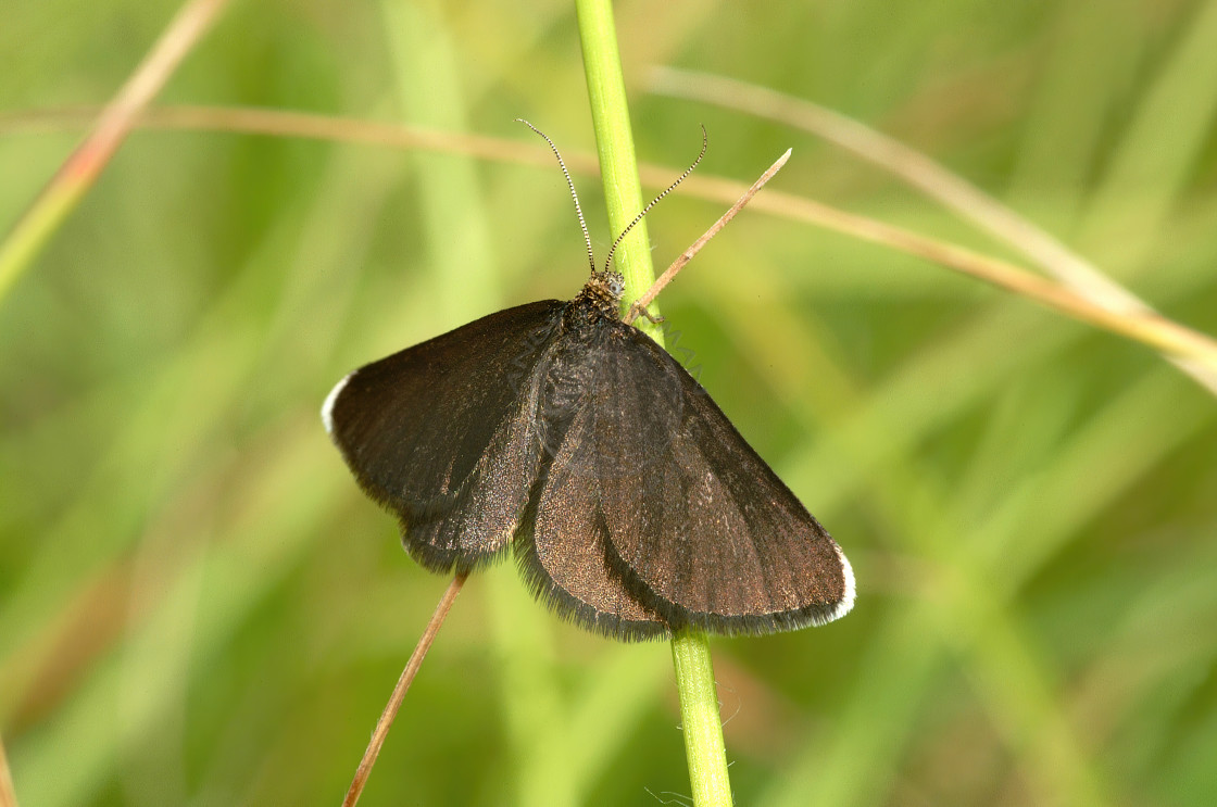 """Chimney Sweeper moth"" stock image"