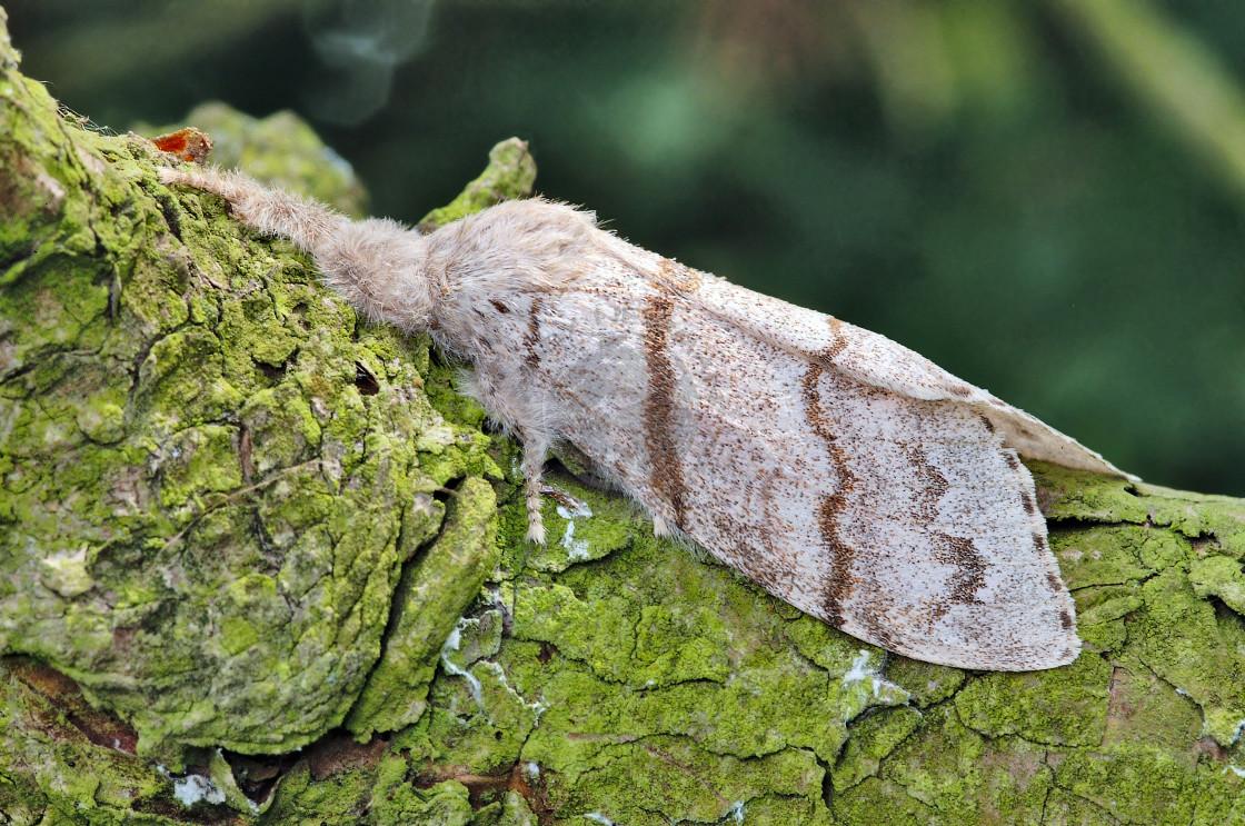 """Pale Tussock moth"" stock image"