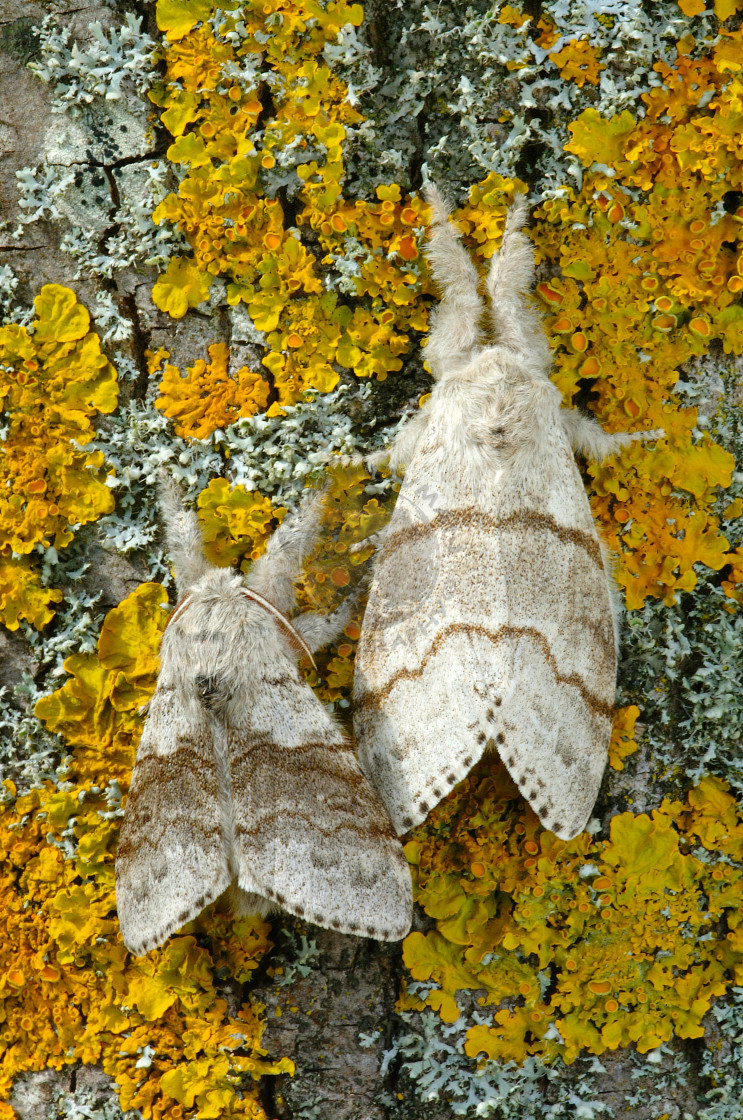 """Pale Tussock moth pair"" stock image"