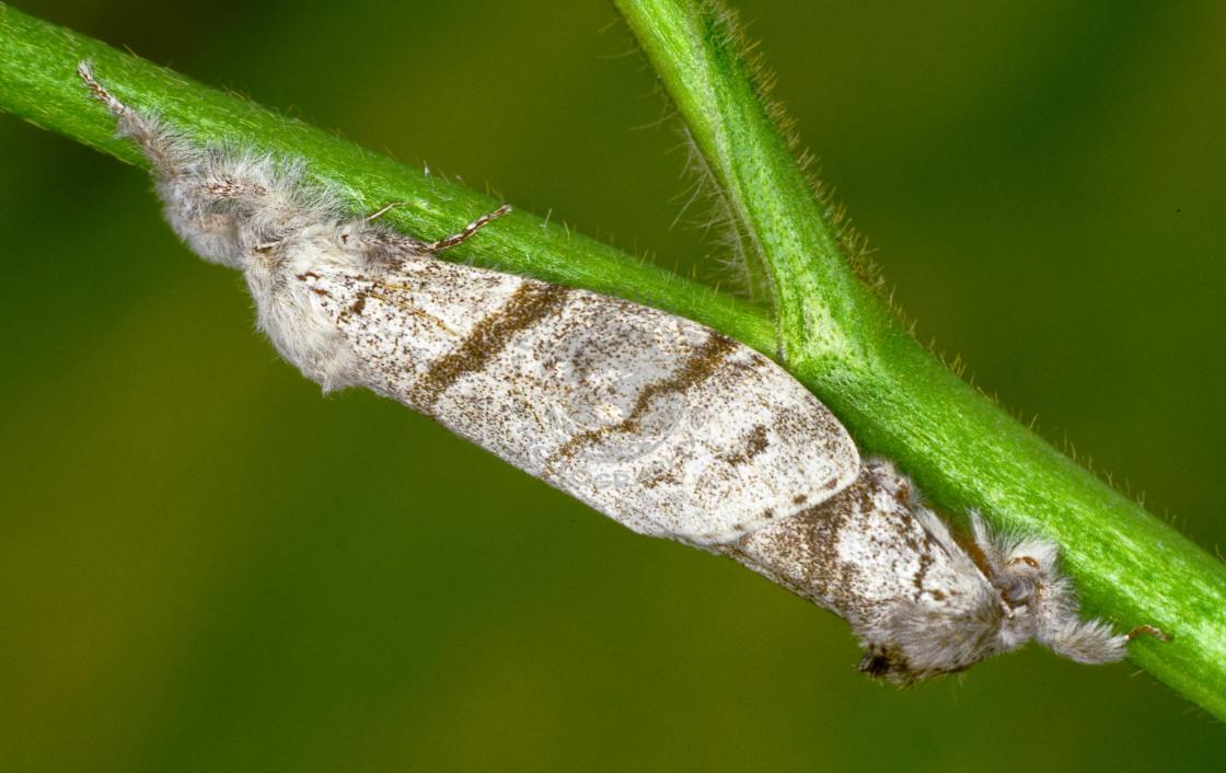 """Pale Tussock moth pair"" stock image"