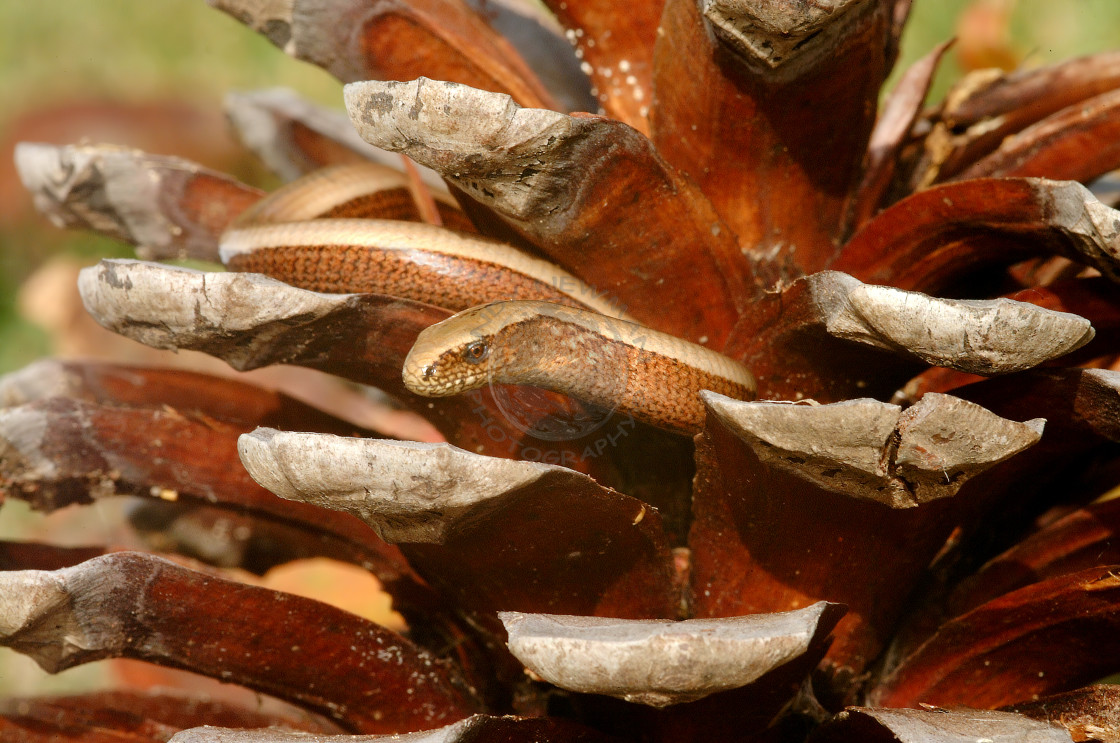 """""""Slow worm and pine cone"""" stock image"""