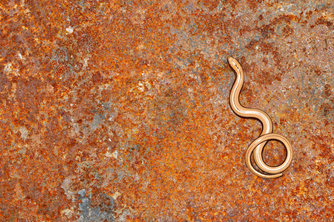 """Baby slow worm"" stock image"