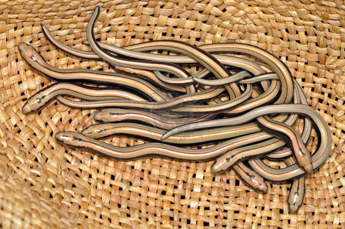 """""""Slow worms"""" stock image"""