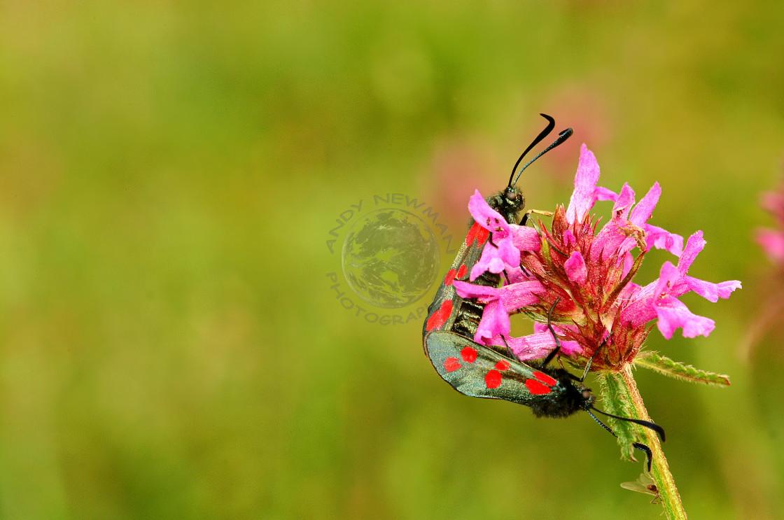 """Six-Spot Burnet moth, mating pair"" stock image"