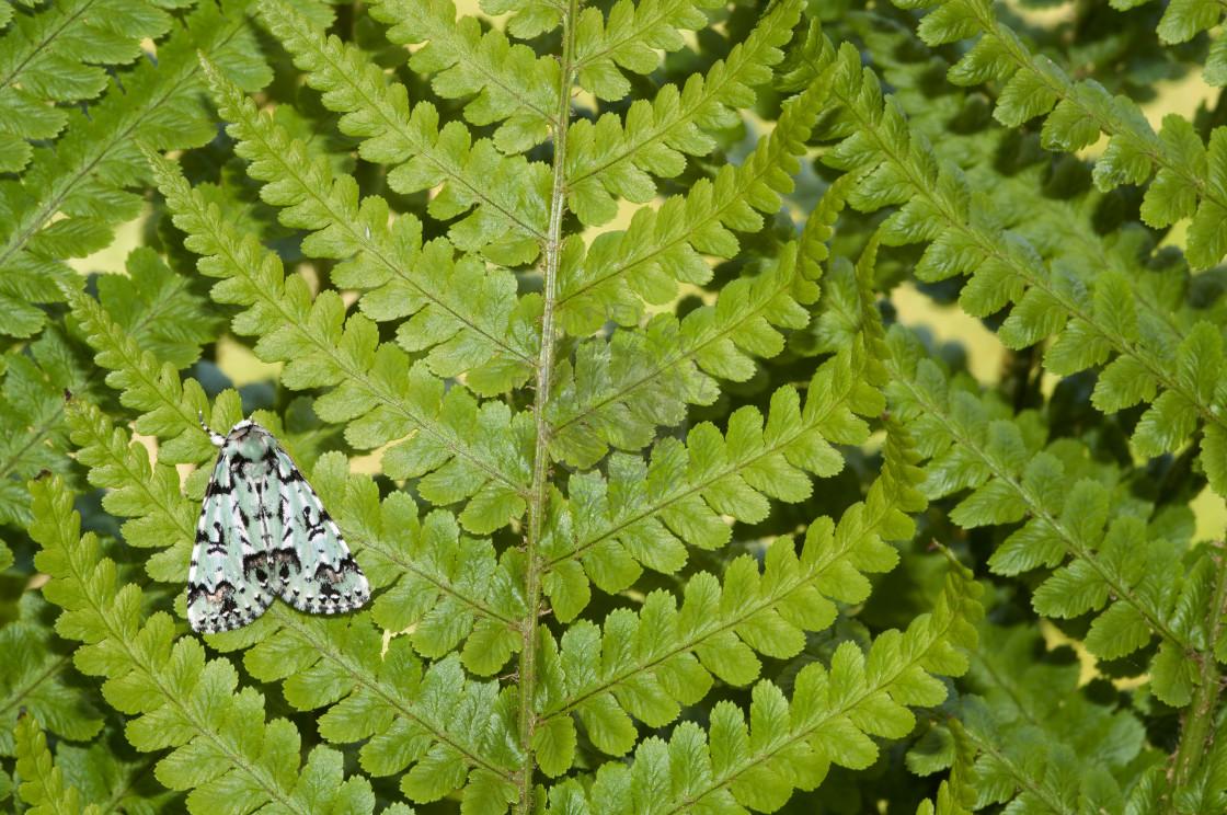 """""""Scarce Merveille du Jour moth"""" stock image"""