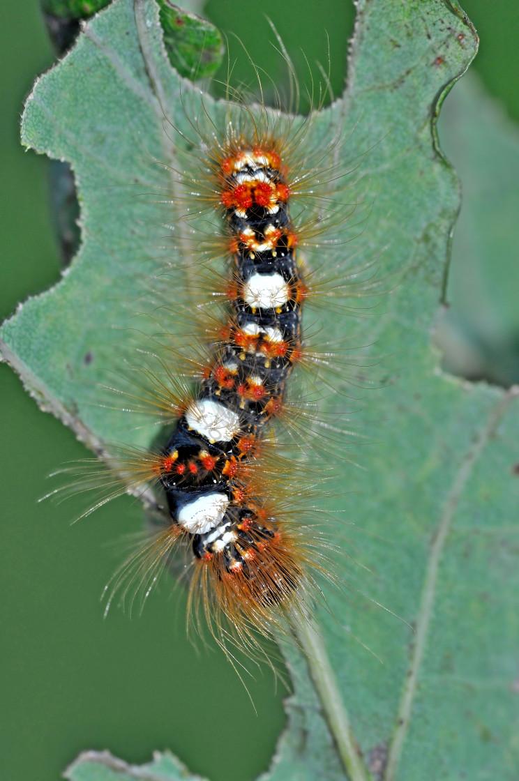 """Scarce Merveille du Jour moth caterpillar"" stock image"