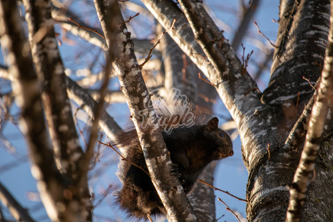 """""""A black squirrel waits on a tree branch"""" stock image"""