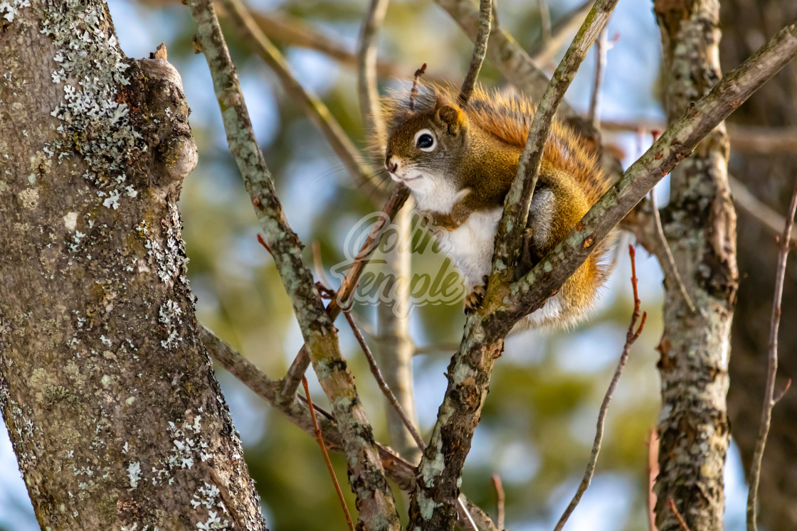 """American Red Squirrel Sitting in a Forest Tree"" stock image"