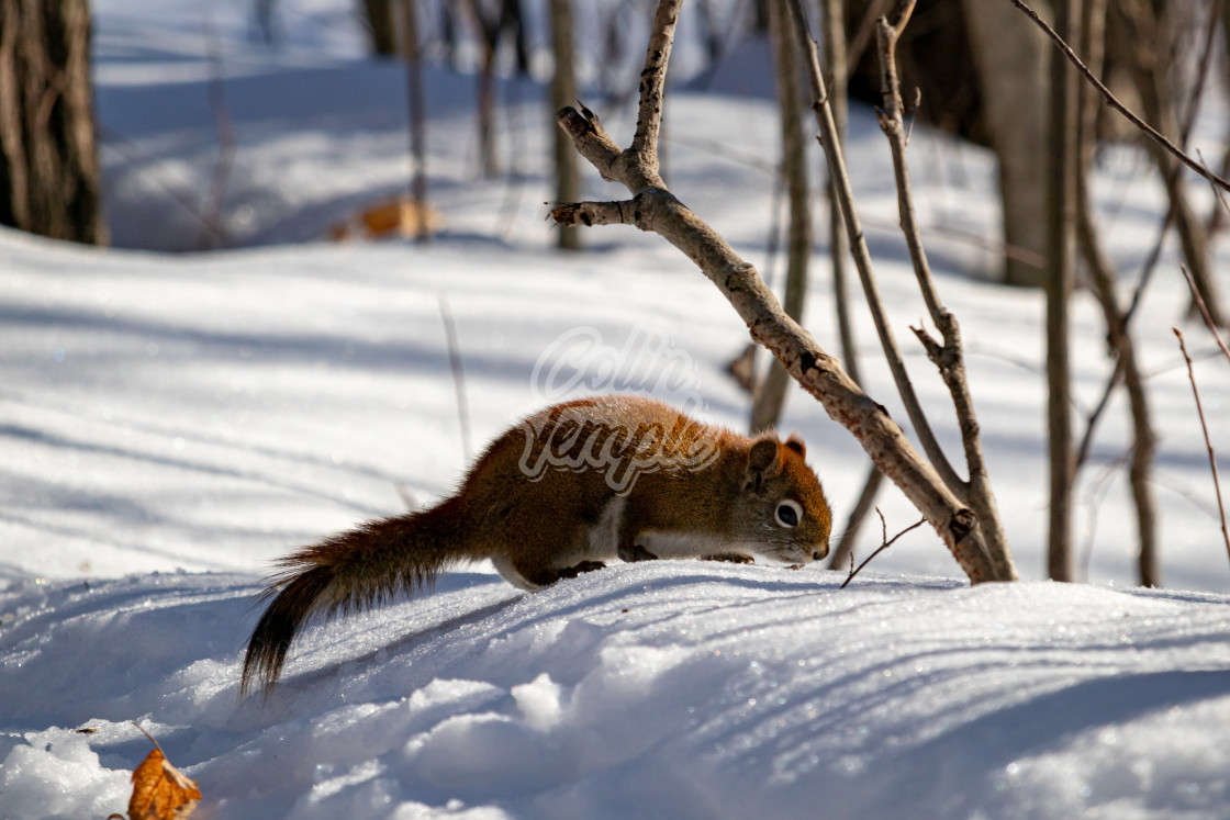 """""""A Squirrel Forages For Fallen Seeds in the Snow"""" stock image"""