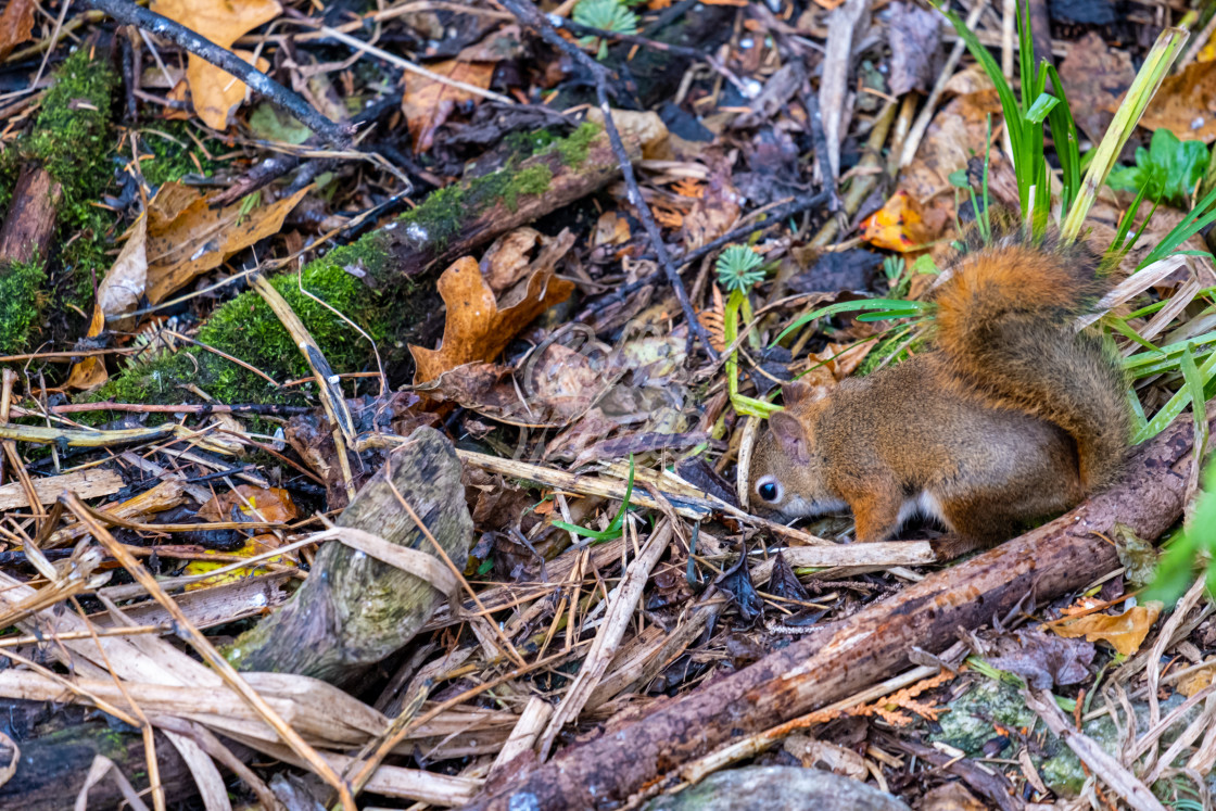 """""""Red squirrel prepares for winter by digging a hole"""" stock image"""
