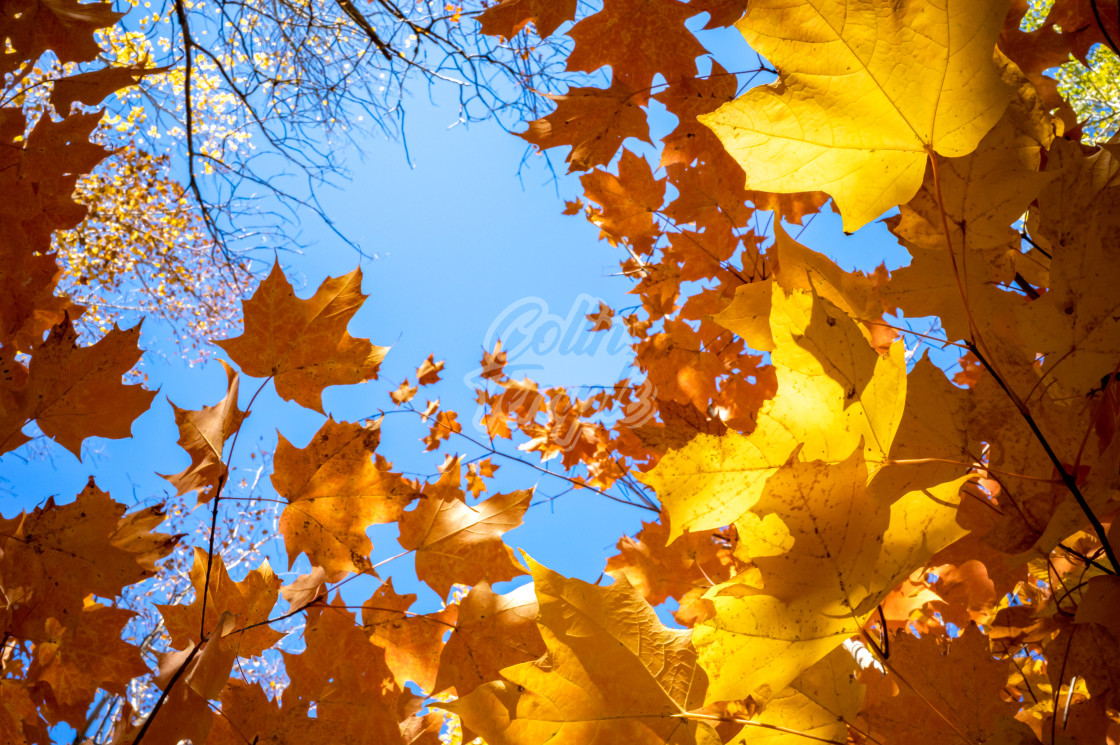 """Golden maple leaves background against the sky"" stock image"