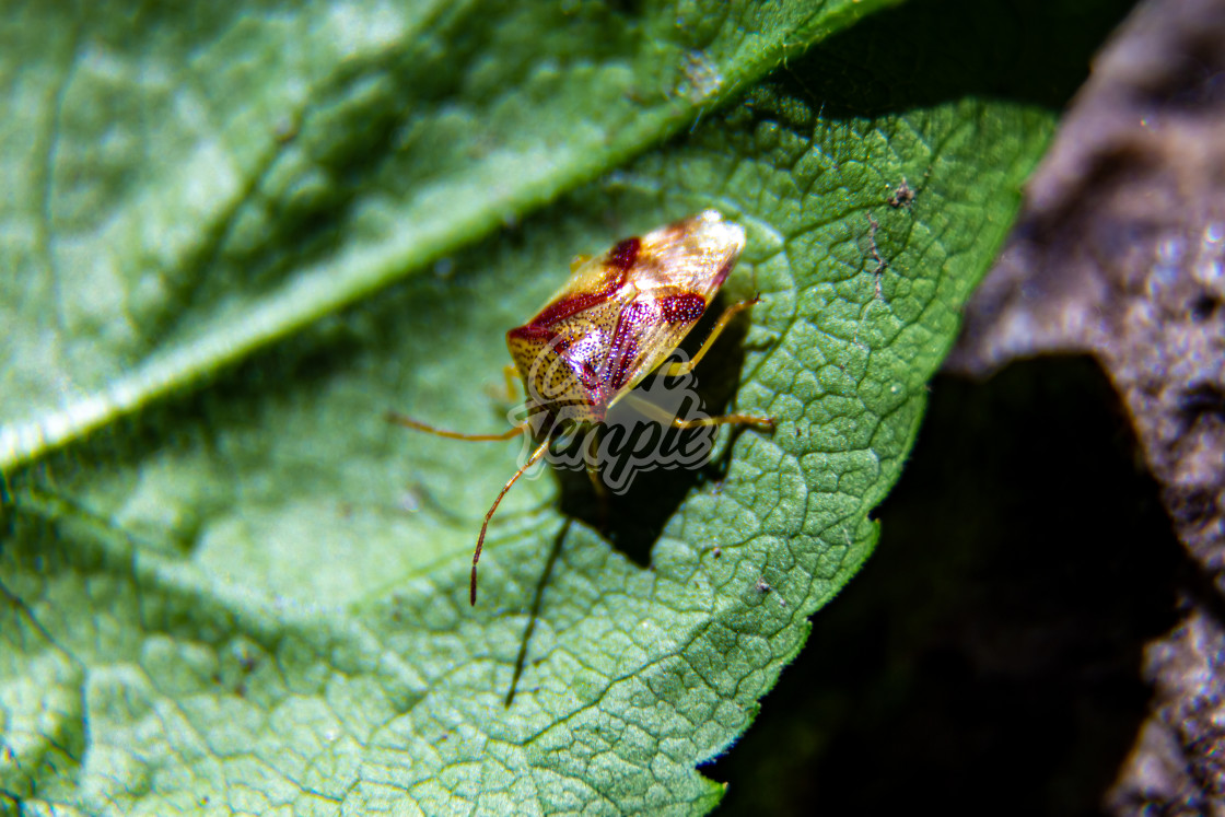 """Red Cross Shield Bug"" stock image"