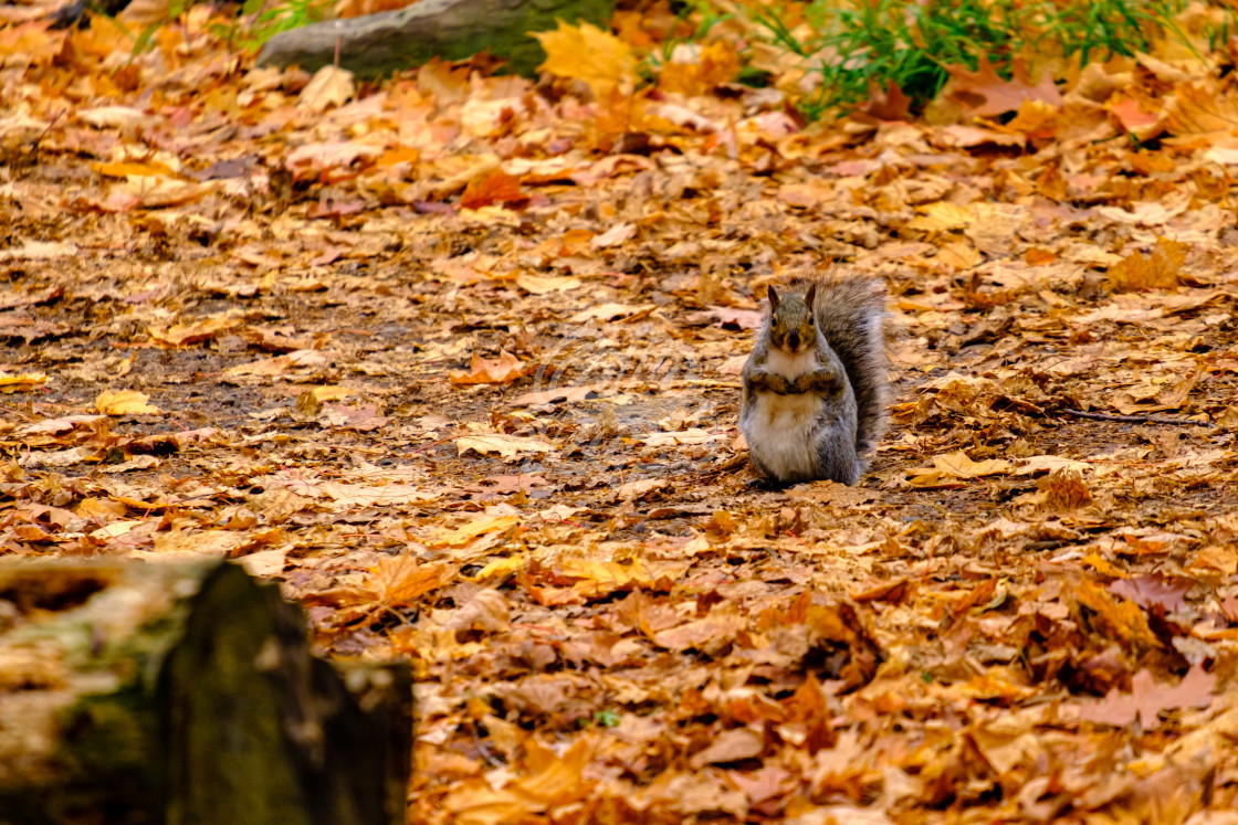 """Grey squirrel among autumn leaves"" stock image"