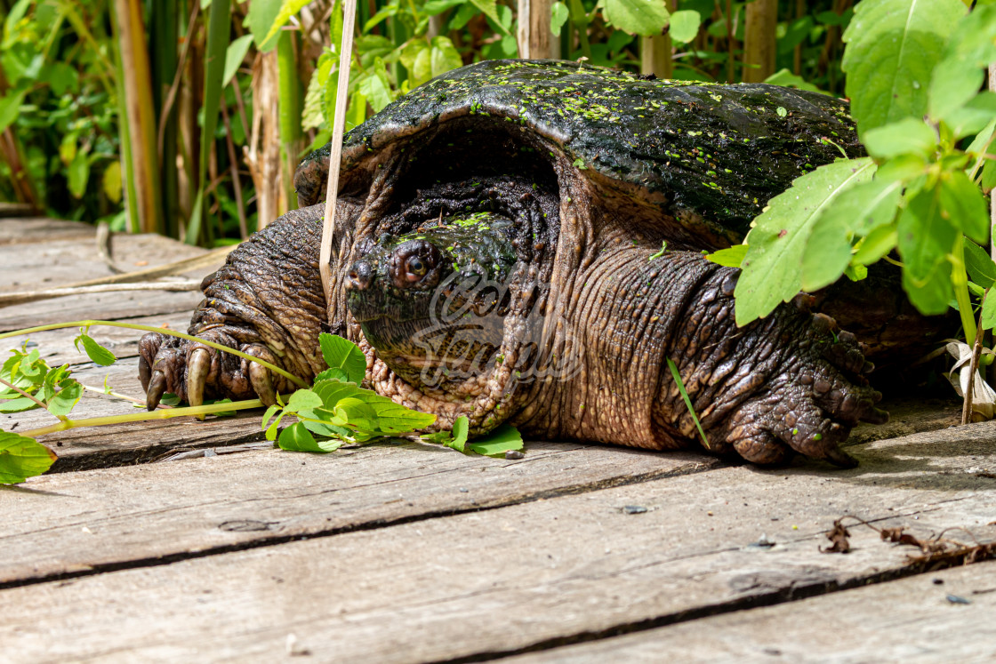 """""""Snapping turtle emerges in wetlands"""" stock image"""