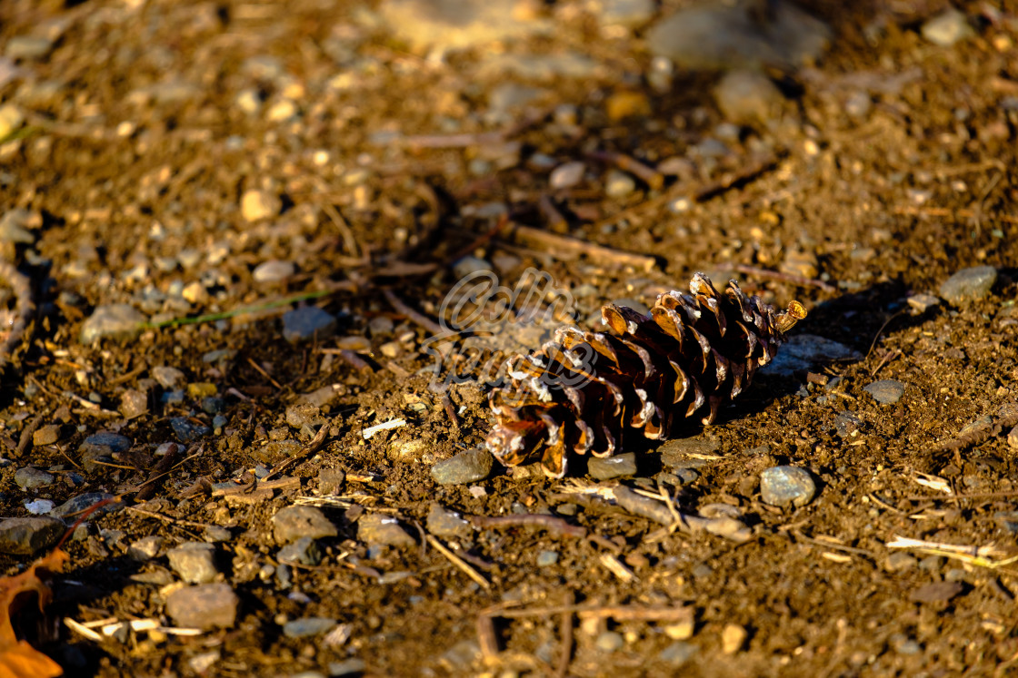 """Pinecone lying on the ground"" stock image"