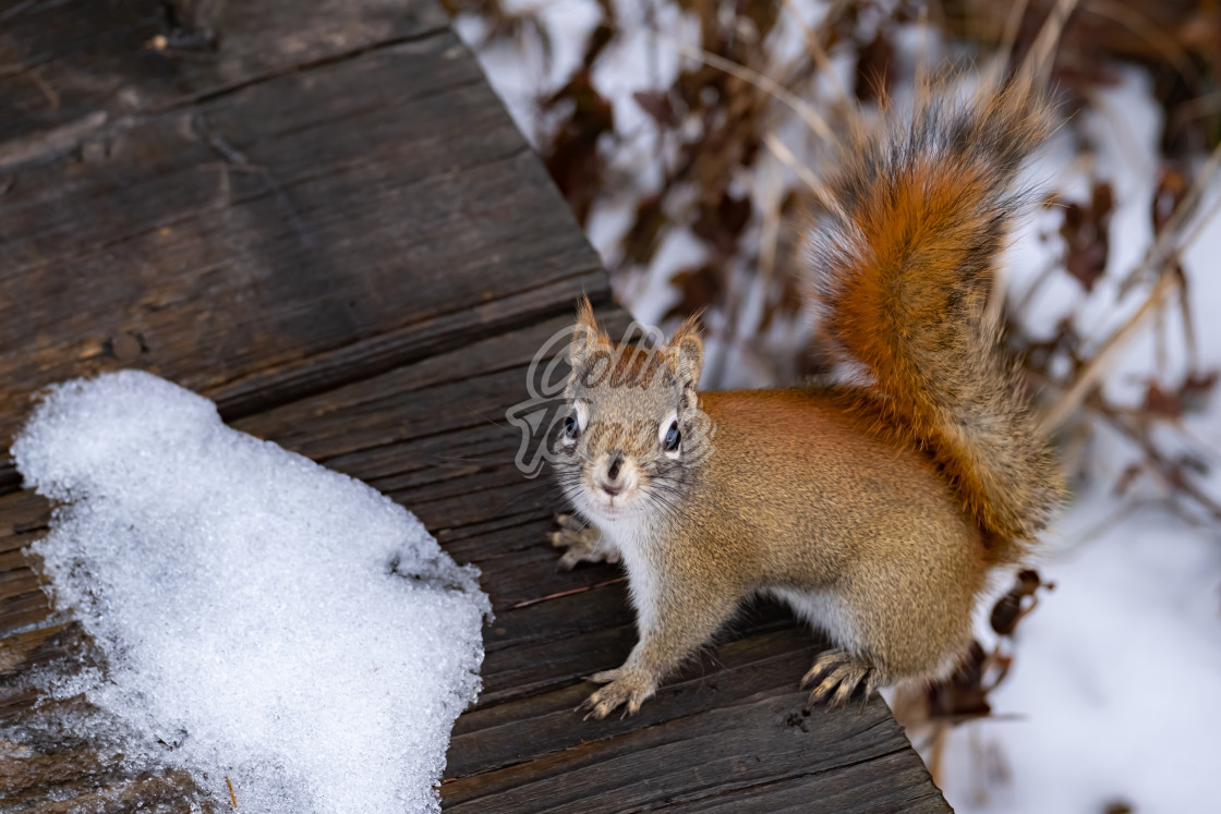 """Red squirrel greeting on winter boardwalk"" stock image"
