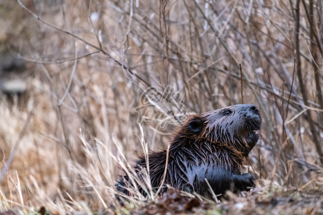 """Wet Canadian beaver emerges from dry grass"" stock image"