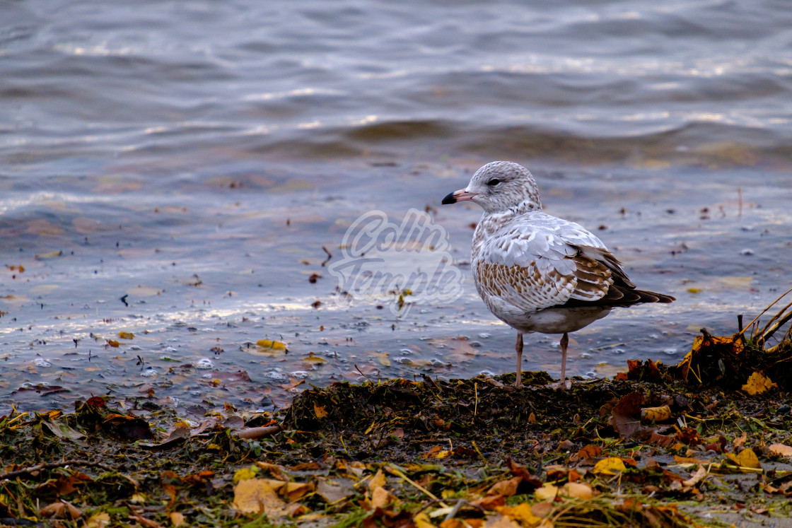 """Seagull stands at river's edge"" stock image"