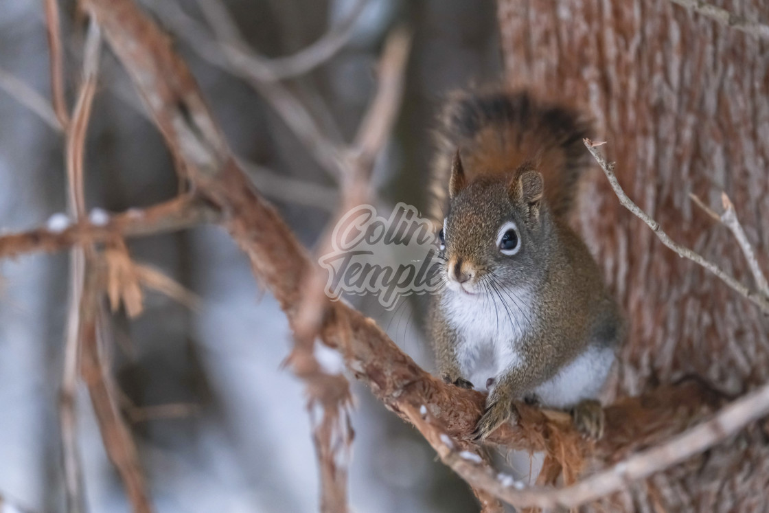 """Red squirrel clinging to tree branch in winter"" stock image"