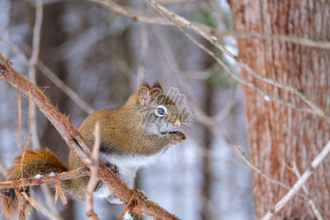 """Tree squirrel on a branch holding a seed"" stock image"