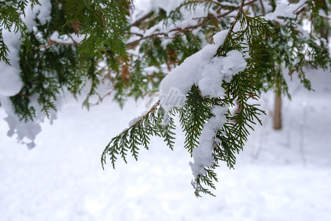 """""""Snow weighs down on hanging cedar branch"""" stock image"""