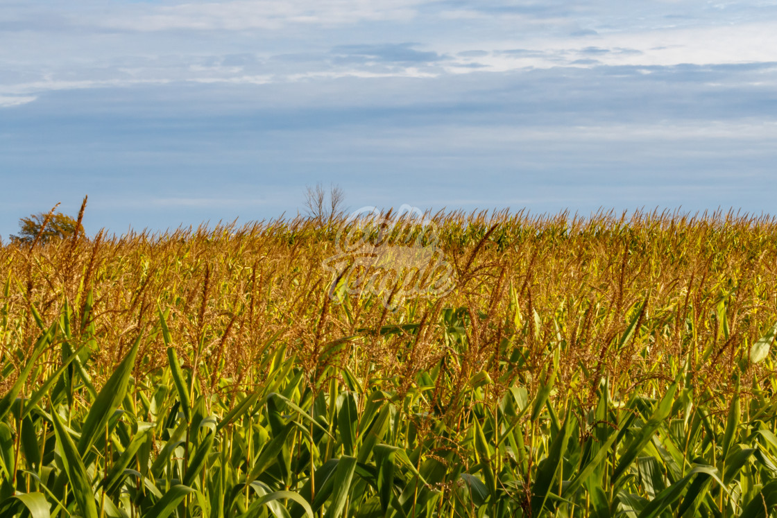 """""""Cornfield ready for harvest"""" stock image"""