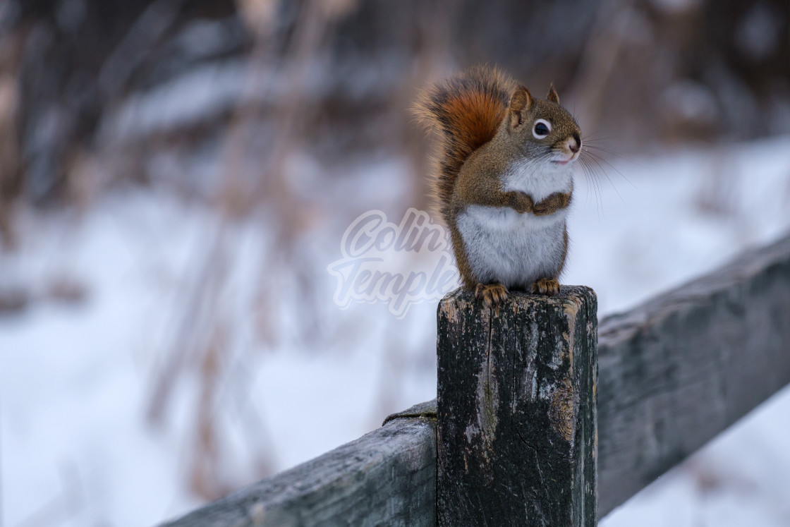 """Red and white squirrel on fencepost in winter"" stock image"