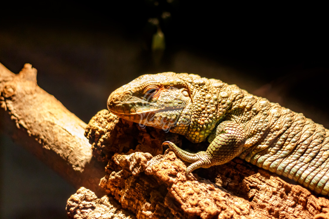 """Caiman lizard basking in warm light"" stock image"
